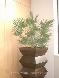 Chamaerops humilis groing indoors in a custom planter