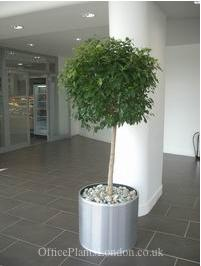 Ficus nitida in west London office reception