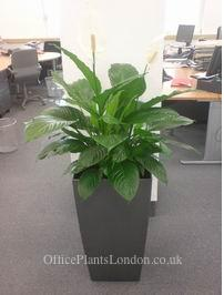 Spathiphyllum (Peace lily) in tapered Lechuza pot in a London office